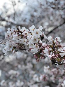 2019桜_高取川